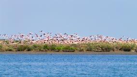 Multitud de flamencos rosados Laguna del río Po imagenes de archivo