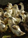 Multitud de gansos Foto de archivo