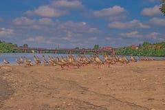 Multitud de gansos egipcios Fotos de archivo libres de regalías