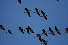 Multitud de gansos salvajes Fotos de archivo