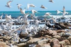 Multitud de golondrinas de mar Foto de archivo libre de regalías