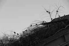 Multitud de gorriones foto de archivo
