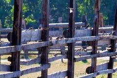 Multitud de gorriones en una cerca Fotos de archivo