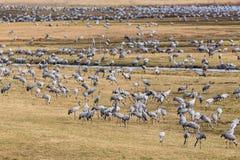 Multitud de grúas en un campo en la primavera Imagen de archivo