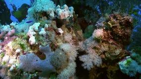 Multitud de la escuela de los pescados de cristal y del coral suave en el filón almacen de metraje de vídeo
