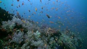 Multitud de la escuela de pescados coloridos en sopa del mar en el filón almacen de metraje de vídeo