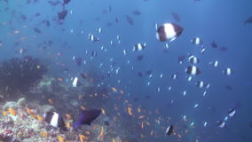 Multitud de la escuela de pescados coloridos en sopa del mar en el filón almacen de video