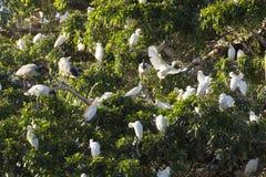 Multitud de la garceta de ganado y de Ibis sagrado en árbol fotos de archivo libres de regalías