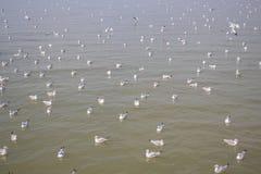 Multitud de la gaviota que flota en la comida que espera del mar para de seres humanos Fotografía de archivo