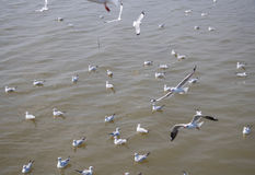 Multitud de la gaviota que flota en la comida que espera del mar para de seres humanos Foto de archivo