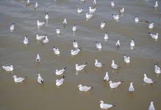 Multitud de la gaviota que flota en la comida que espera del mar para de seres humanos Imagen de archivo