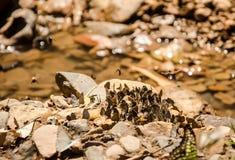 Multitud de la mosca de la mantequilla Foto de archivo