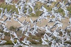 Multitud de la oferta de gaviotas de cabeza negra en vuelo Imagen de archivo