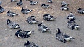 Multitud de la reclinación que se sienta del ganso canadiense sobre el campo de tierra y limpiar las alas almacen de metraje de vídeo