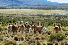 Multitud de lamas en parque nacional del isluga del volcán Fotografía de archivo libre de regalías