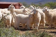 Multitud de las cabras del angora Foto de archivo libre de regalías