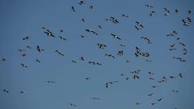 Multitud de las gaviotas fuliginosas que asoman en el cielo almacen de metraje de vídeo