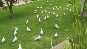 Multitud de las gaviotas de plata, novaehollandiae de Chroicocephalus, descansando en la hierba almacen de metraje de vídeo