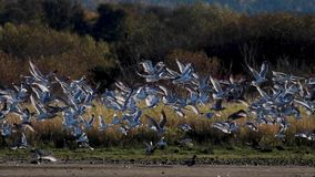 Multitud de las gaviotas que sacan en unísono de los planos de fango de un estuario en Escocia durante una tarde en noviembre almacen de video