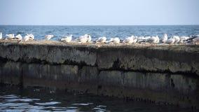 Multitud de las gaviotas que se sientan en el embarcadero concreto en el mar metrajes