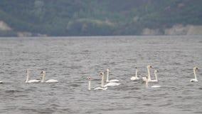 Multitud de las nadadas blancas de los cisnes en el río almacen de metraje de vídeo