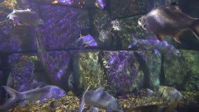 Multitud de las nadadas de los pescados en la agua de mar del acuario diversidad de la vida marina almacen de metraje de vídeo