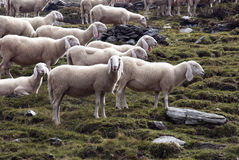 Multitud de las ovejas Imagenes de archivo