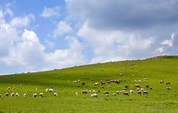 Multitud de las ovejas Fotografía de archivo