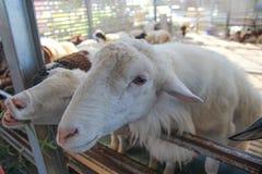 Multitud de las ovejas Foto de archivo libre de regalías