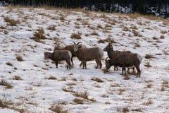 Multitud de las ovejas de carnero con grandes cuernos Fotografía de archivo