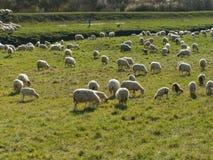 Multitud de las ovejas con el pastor Fotografía de archivo libre de regalías