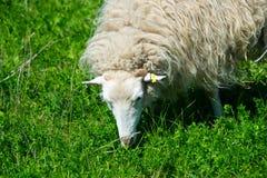 Multitud de las ovejas del skudde fotos de archivo