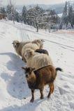 Multitud de las ovejas en el paseo Fotos de archivo