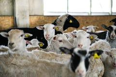 Multitud de las ovejas en la granja Imagenes de archivo