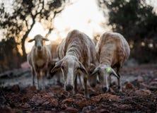 Multitud de las ovejas en Olive Grove fotos de archivo libres de regalías
