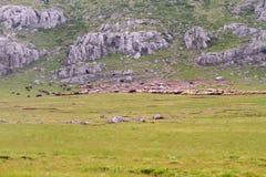 Multitud de las ovejas en un prado de la montaña Imagenes de archivo