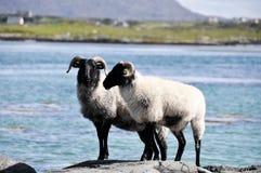 Multitud de las ovejas, Irlanda Imagenes de archivo