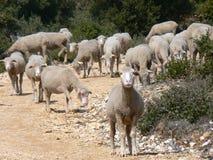 Multitud de las ovejas, Provence Foto de archivo