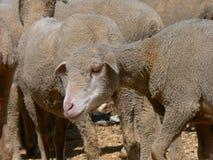 Multitud de las ovejas, Provence Imágenes de archivo libres de regalías