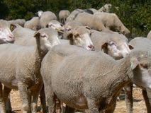 Multitud de las ovejas, Provence Imagenes de archivo