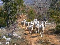 Multitud de las ovejas, Provence Fotografía de archivo libre de regalías