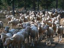 Multitud de las ovejas, Provence Imagen de archivo