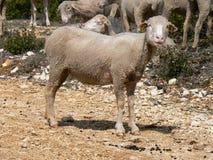 Multitud de las ovejas, Provence Fotos de archivo libres de regalías