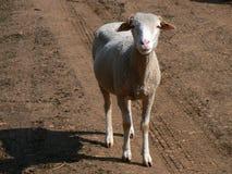 Multitud de las ovejas, Provence Imagen de archivo libre de regalías