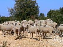 Multitud de las ovejas, Provence Foto de archivo libre de regalías