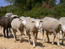 Multitud de las ovejas, Provence Fotos de archivo