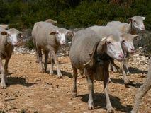 Multitud de las ovejas, Provence Fotografía de archivo