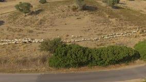 Multitud de las ovejas que caminan en un camino de tierra visto desde arriba con el abejón que crea mucho polvo metrajes