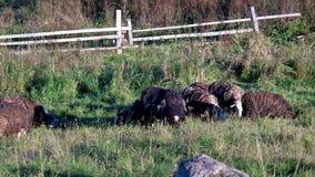 Multitud de las ovejas que comen la hierba en pasto almacen de video
