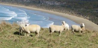 Multitud de las ovejas que pastan  Foto de archivo